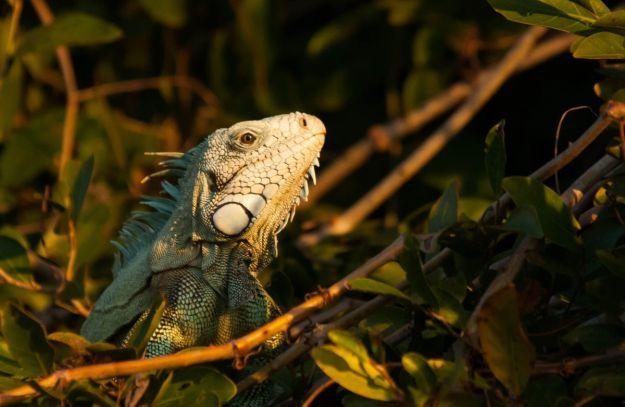 PantanalIguane-6409