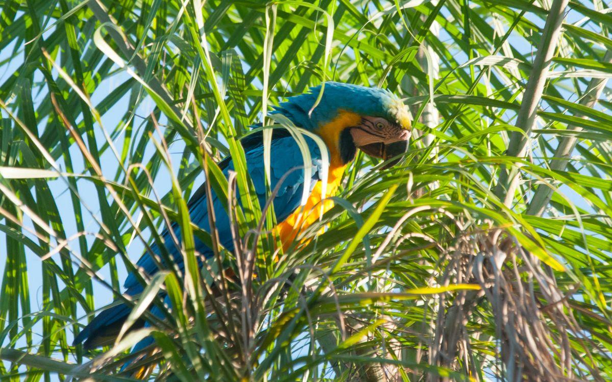 PantanalAra-6434