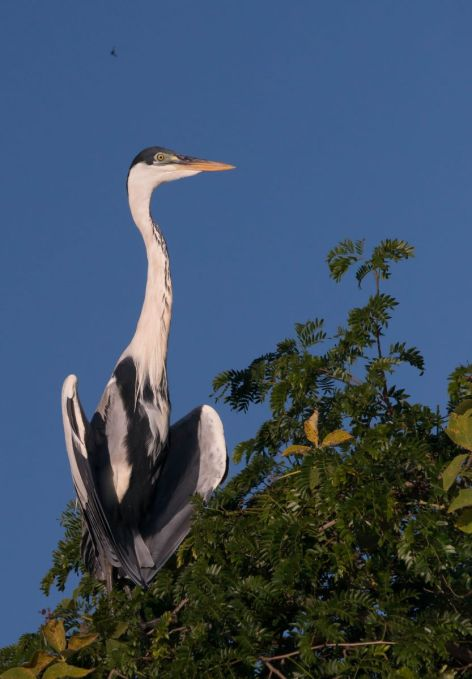 PantanalGarza-8270