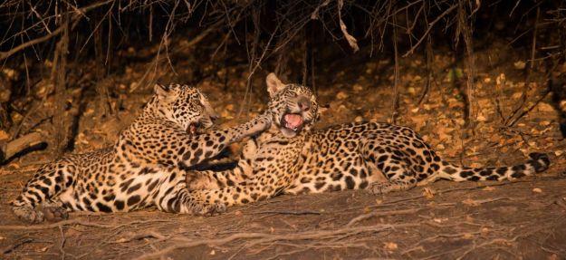 PantanalJaguar-8418