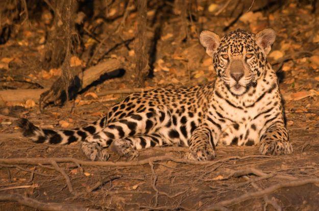 PantanalJaguar-8436