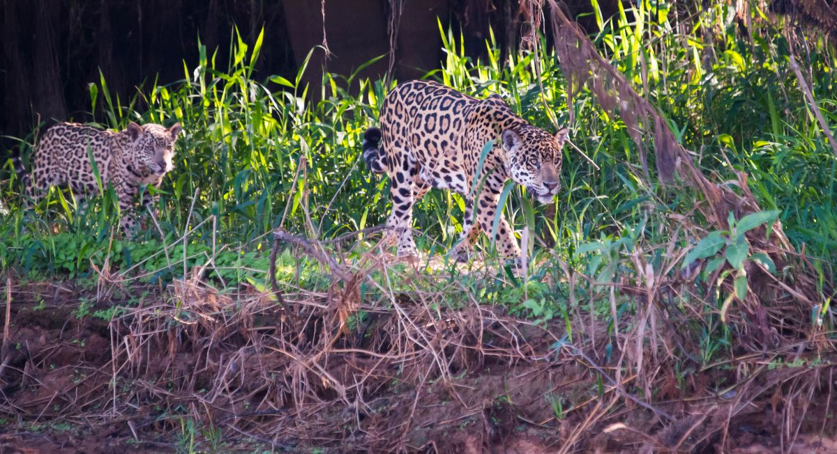 PantanalJaguar-8664