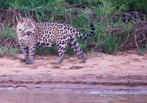 PantanalJaguar-8708