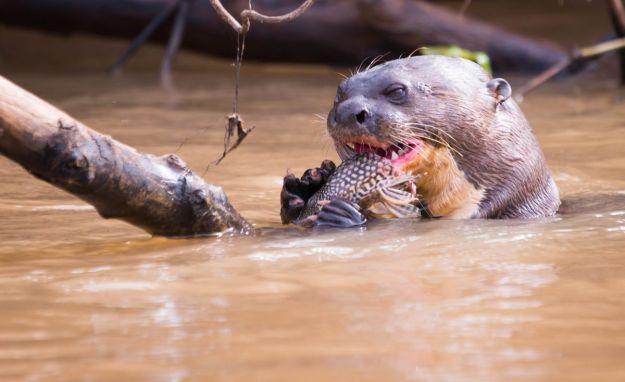 PantanalLoutres-8586