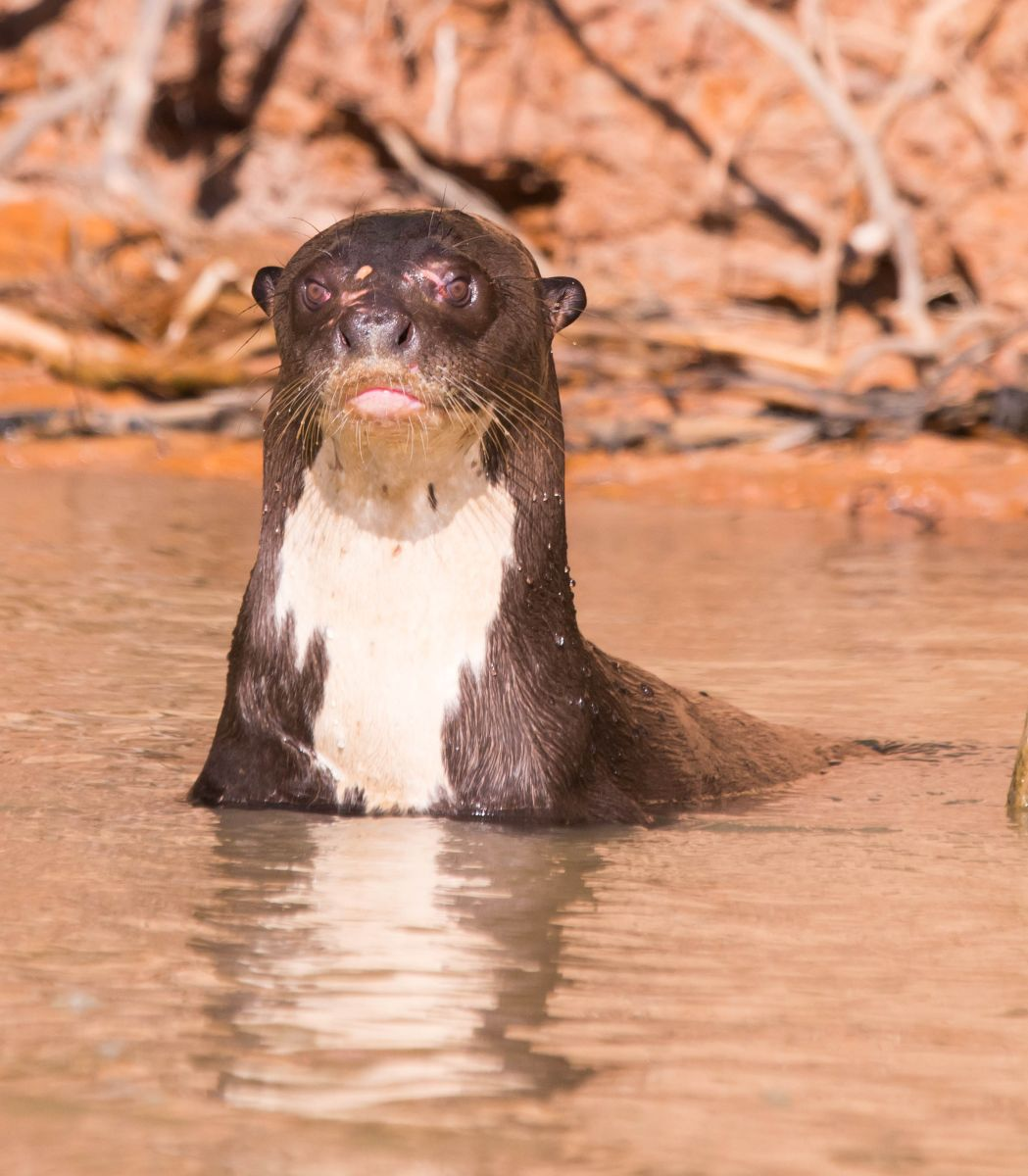 PantanalLoutres-8646