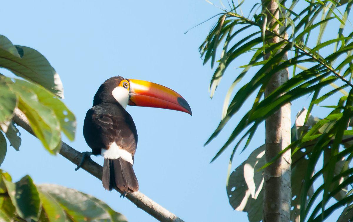 PantanalToucan-6459