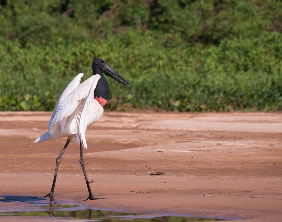 PantanalTuiuiu-8237